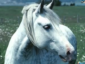 Beautiful White Horse Face