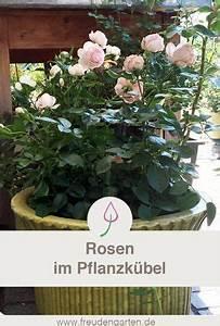 Rosen Im Topf überwintern : rosen im pflanzk bel garten pinterest ~ Orissabook.com Haus und Dekorationen