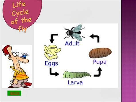lifespan of a life cycle of the fly