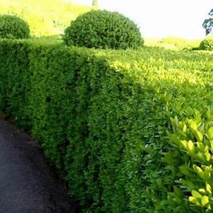 Arbuste Pour Haie Pas Cher : buis commun plantes de bordure buis arbuste haie et plante haie ~ Nature-et-papiers.com Idées de Décoration