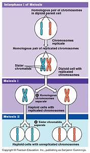 Chapter 13  Meiosis  U0026 Sexual Stages