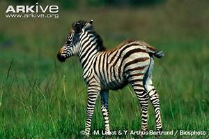 Plains zebra photo - Equus quagga - G54336 | Arkive