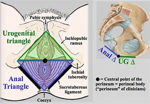 Gross  Bony Pelvis  Pelvic Diaphragm  Pudendal Nerve At