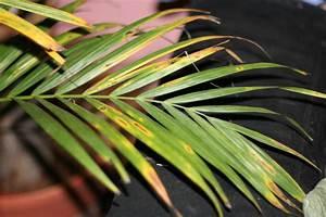 Palme Gelbe Blätter : goldfruchtpalme bekommt braune bl tter ~ Lizthompson.info Haus und Dekorationen