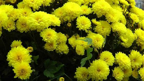 chrysantheme sorten und pflege chrysanthemum youtube