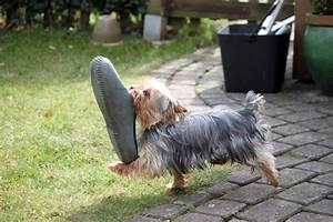 Caring For A Yorkshire Terrier  Facts You Should Know