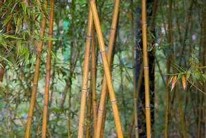 Wie Schnell Wächst Bambus : bambus verliert bl tter das k nnen sie tun ~ Frokenaadalensverden.com Haus und Dekorationen