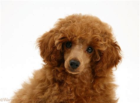 dog red toy poodle pup photo wp