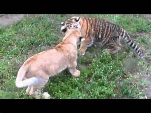 TIGER vs LION Real Fight video - YouTube