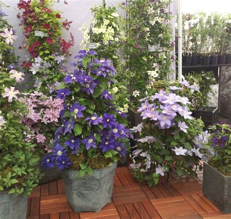 can i plant clematis in a pot 24 best vines for containers climbing plants for pots balcony garden web