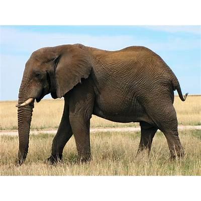 African Bush ElephantAnimals Library