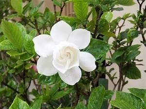 Gardenia Jasminoides Pflege : gardenie gardenia jasminoides richtig pflegen und ~ A.2002-acura-tl-radio.info Haus und Dekorationen