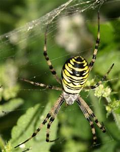 Faire Fuir Les Araignées : argiope bruennichi belle jaune et noire le monde des insectes ~ Melissatoandfro.com Idées de Décoration