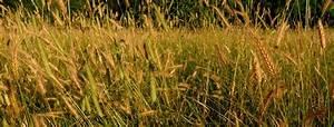 Dr M U2019s Top Twenty Flowering Plant Families  Poaceae