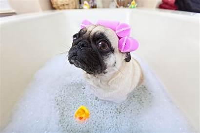 Adorable Pugs Puppy Bath Even Heart Banho