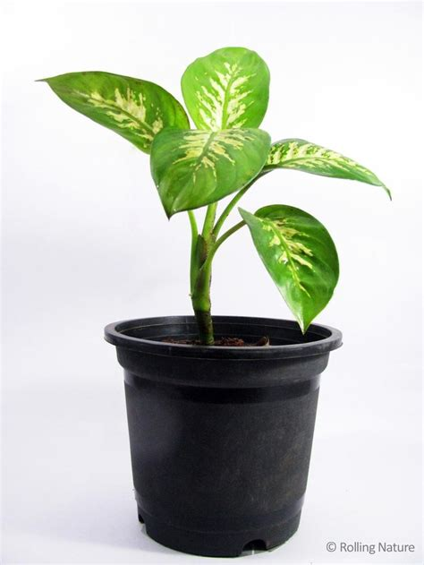 Dieffenbachia A Broadleaved Foliage Plant With Thick