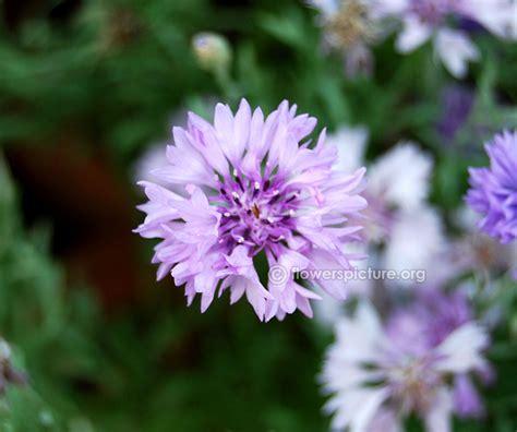 centaurea cyanus cornflower