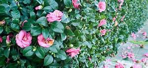 Camellia Japonica Flower Power