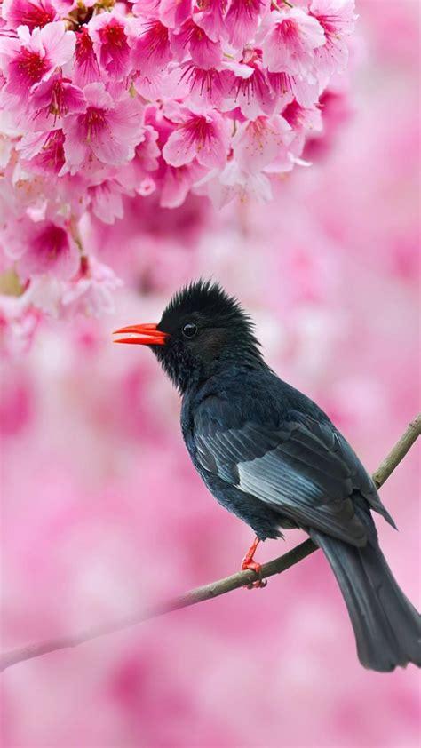 Black Bulbul Sakura Tree Pink Flowers Free 4k Ultra Hd
