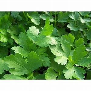 Proven Winners Flat Leaf Parsley, Live Plant, Herb, 4.25 ...