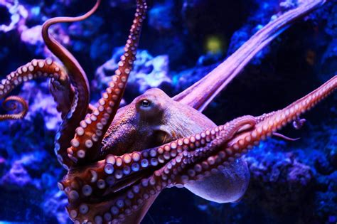 Octopus Wallpaper Download In High Resolution Free New Wallpapers Hd High Quality Motion