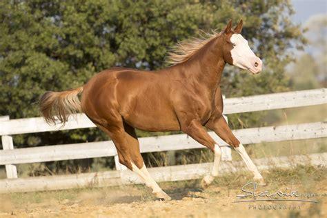 Quarter horse news   Castellare di Tonda Quarter Horses