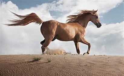 Arabian Horse Horses Behind Pride Arab Breeds