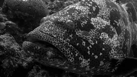 grouper shutterstock