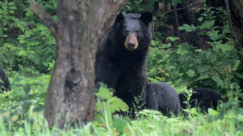Bear Family Lingering Around Chelsea, Que, Homes  Ottawa