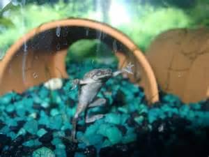 betta tank mates african dwarf frogs betta fish care