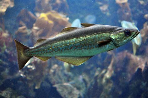 Gadus morhua; Bacalao Común; Bacalao del Atlántico; Bacalao