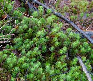 Moss Notes  Our Common Toothy Leaved Polytrichums