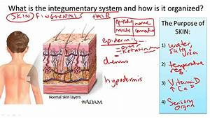 Integumentary System Structure And Function