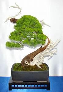 Chinesischer Wacholder Bonsai : juniperus wacholder tipps zur gestaltung und pflege als bonsai ~ Sanjose-hotels-ca.com Haus und Dekorationen