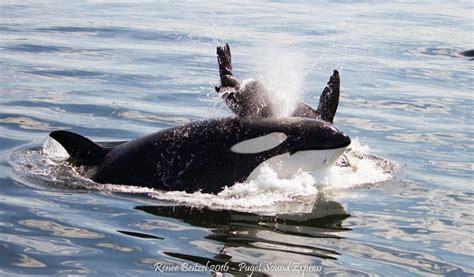 transient orca encounter  seattles elliott bay puget