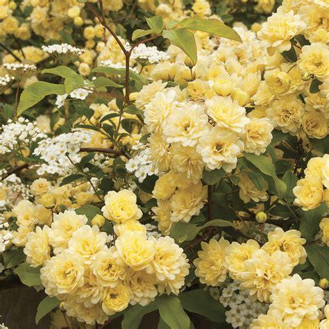 Climbing Rose Bush ,yellow (1 Plant) Border, Cut Flowers