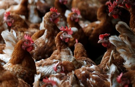 The type with the greatest risk is highly pathogenic avian influenza (hpai). Bird Flu: Everything you need to know about the fatal disease called avian influenza - IBTimes India