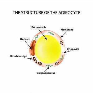 Adipocyte Structure  Fat Cell  U2014 Stock Vector  U00a9 Edesignua