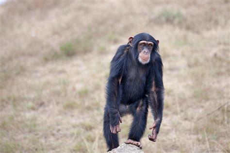 chimpanzee  home teacher