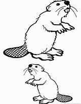 Beaver Coloring Pages Animal Zoom sketch template