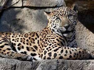 Jaguar attacks woman taking selfie, Arizona zoo issues ...  Jaguar