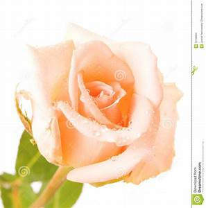 gaeroladid: White Rose With Water Drops Images