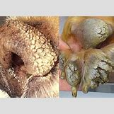 Follicular Hyperkeratosis Dog | 280 x 200 jpeg 25kB