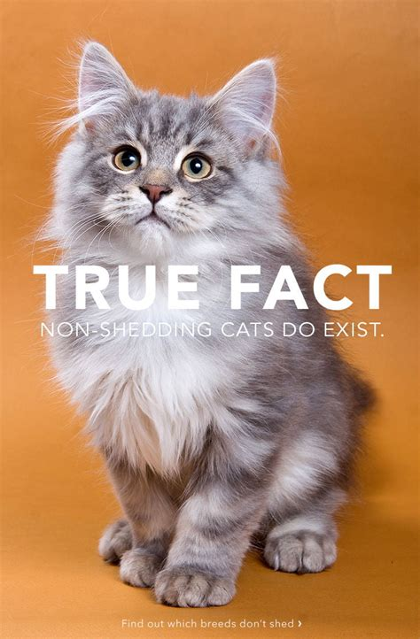 cat shedding a lot 10 top non shedding cats care