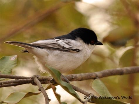 Red-eyed Puffback