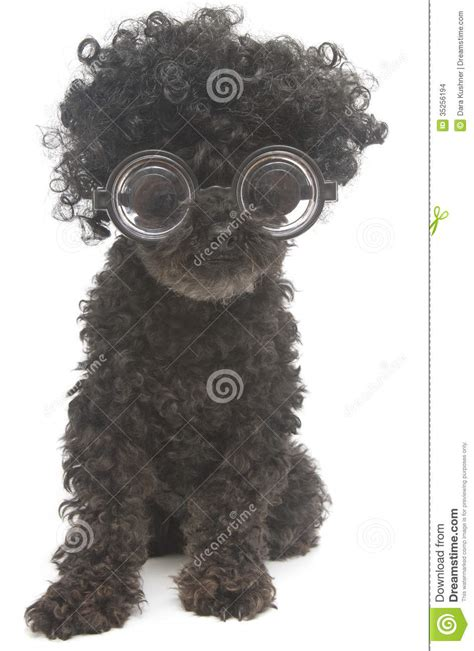 shaggy  nerdy poodle stock images image