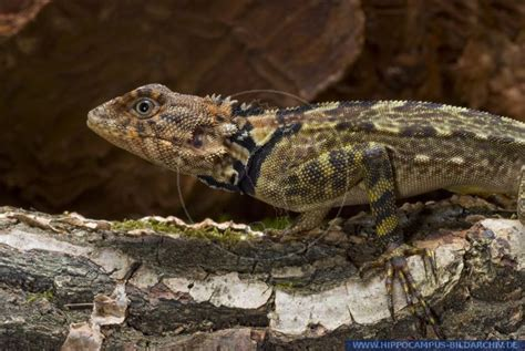 Plica plica alias Stelzenlaeuferleguan :: Hippocampus Bildarchiv