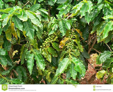 Coffee Tree Royalty Free Stock Image Cleaning Your Coffee Maker With Clr Drip Vinegar Solution Scooters Mitchell Sd Gold Sumatra Mandheling Roy Utah Sioux Falls Locations Scooter's Stock Pot Reservoir