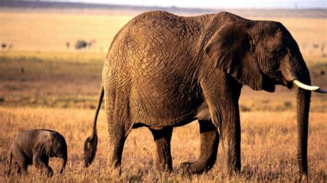 Animated Elephant Wallpaper - baby elephant wallpapers wallpaper cave