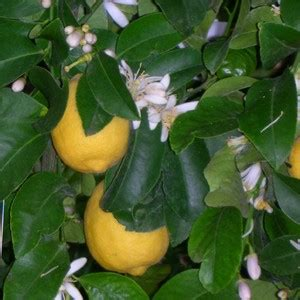 limoni coltivazione in vaso limoni come proteggere la pianta da parassiti e malattie